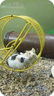 Mouse for adoption in Germantown, Ohio - Pearl and Quartz