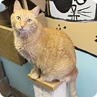 Domestic Shorthair Cat for adoption in West Des Moines, Iowa - Diesel