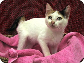 Domestic Shorthair Kitten for adoption in Redwood Falls, Minnesota - Sugar