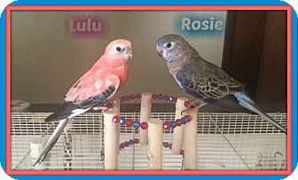 Parakeet - Other for adoption in Tampa, Florida - Rosie and Lulu