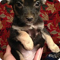 Chihuahua Puppy for adoption in Hartford, Connecticut - Zaire