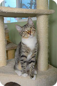 Domestic Shorthair Kitten for adoption in Van Nuys, California - Shrek