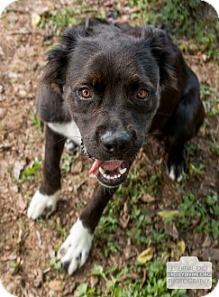 Border Collie Mix Dog for adoption in Leander, Texas - Harley