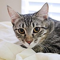 Adopt A Pet :: Kitten - Bailey - Euless, TX