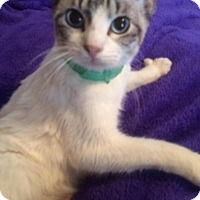 Snowshoe Cat for adoption in Kingwood, Texas - Dolly