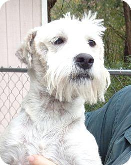 Schnauzer (Miniature)/Westie, West Highland White Terrier Mix Puppy for adoption in Crump, Tennessee - kipper