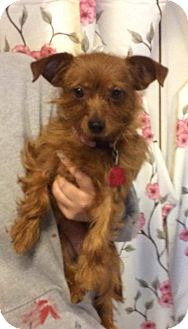 yorkie rescue missouri ruby adopted dog kansas city mo chihuahua yorkie 3271