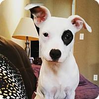 Adopt A Pet :: Eva - Apex, NC