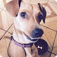 Adopt A Pet :: Ellie - San Diego, CA