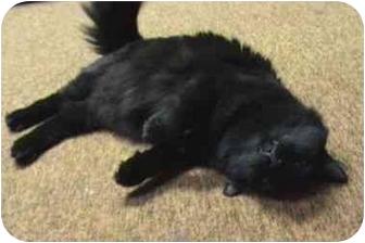 Domestic Mediumhair Cat for adoption in Syracuse, New York - Jet