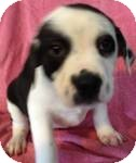 Labrador Retriever Mix Puppy for adoption in Manchester, Connecticut - Benson ADOPTION PENDING
