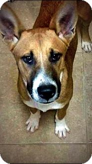 Basenji Mix Dog for adoption in Spring Branch, Texas - Nigel