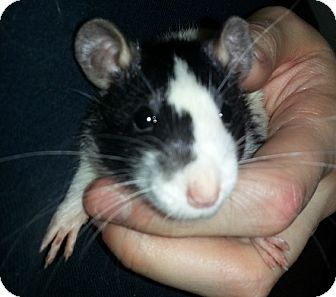 Rat for adoption in Lakewood, Washington - Broken Blaze