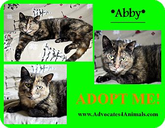 Domestic Shorthair Cat for adoption in Xenia, Ohio - Abby