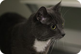Domestic Shorthair Cat for adoption in Mission, British Columbia - Lucy