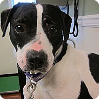 Pit Bull Terrier/Boston Terrier Mix Dog for adoption in Oak Ridge, New Jersey - Gummy Bear-READY FOR A HOME!