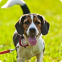Beagle/Spaniel (Unknown Type) Mix Dog for adoption in Miami, Florida - Sparkie (Beagle Mix)