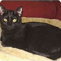 Domestic Shorthair Cat for adoption in Dale City, Virginia - Cocoa
