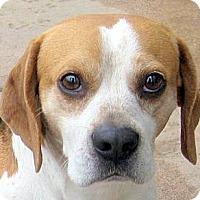 Adopt A Pet :: Bugle - Oakley, CA