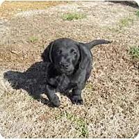 Adopt A Pet :: Pudge - Adamsville, TN