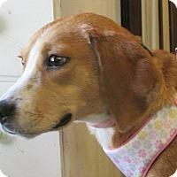 Adopt A Pet :: Ollie - Poughkeepsie, NY