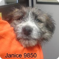 Adopt A Pet :: Janice - baltimore, MD