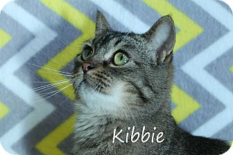 Domestic Shorthair Cat for adoption in Wichita Falls, Texas - Kibbe