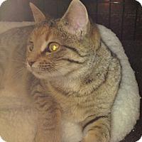 Adopt A Pet :: Amber - Horsham, PA
