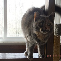 Domestic Mediumhair Cat for adoption in Saint Albans, West Virginia - Reese