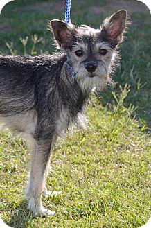 Schnauzer (Standard) Mix Dog for adoption in Midland, Texas - Peanut