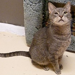Photo 1 - Domestic Shorthair Cat for adoption in Westville, Indiana - Chester