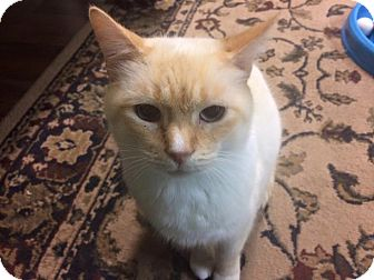 Siamese Cat for adoption in Flowery Branch, Georgia - Sly