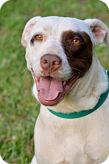 American Staffordshire Terrier/Pointer Mix Dog for adoption in Washington, Georgia - Diana