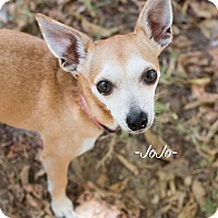 Chihuahua Mix Dog for adoption in Leander, Texas - JoJo