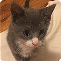 Adopt A Pet :: Duke - Raleigh, NC