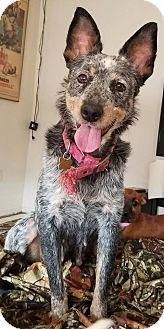 Australian Cattle Dog Mix Dog for adoption in Phoenix, Arizona - River