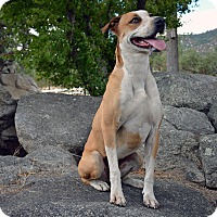 Australian Cattle Dog/Labrador Retriever Mix Dog for adoption in Mountain Center, California - Ayla