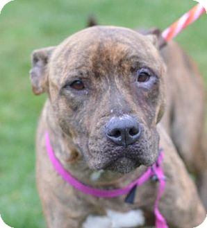Pit Bull Terrier/Terrier (Unknown Type, Medium) Mix Dog for adoption in Philadelphia, Pennsylvania - Gretta (foster care)