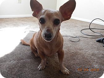 Chihuahua/Dachshund Mix Dog for adoption in haslet, Texas - honey