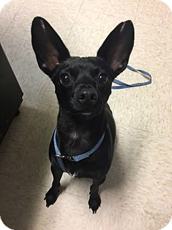 Chihuahua/Basenji Mix Dog for adoption in Muskegon, Michigan - Marco