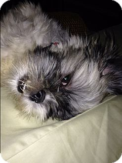 Shih Tzu Puppy for adoption in Allentown, Pennsylvania - Princess