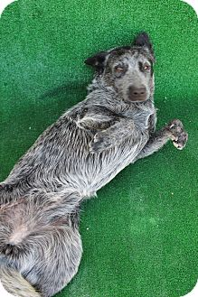 Australian Cattle Dog Mix Dog for adoption in San Diego, California - Foxy