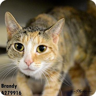 Domestic Mediumhair Cat for adoption in Conroe, Texas - BRANDY