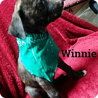 Adopt A Pet :: Winnie - Burlington, VT