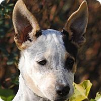Australian Cattle Dog Mix Puppy for adoption in Cedartown, Georgia - Deborah
