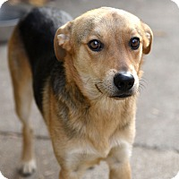 Shepherd (Unknown Type) Mix Dog for adoption in Chattanooga, Tennessee - Mr. Hawthorne