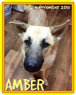 German Shepherd Dog Dog for adoption in Sebec, Maine - AMBER