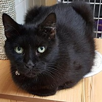 Domestic Shorthair Cat for adoption in Lago Vista, Texas - Tanami