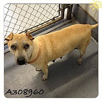 Adopt A Pet :: Ellie - San Antonio, TX
