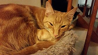 Domestic Shorthair Cat for adoption in Apex, North Carolina - Paprika
